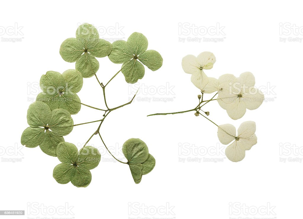 Pressed and dried flower hydrangea. Isolated stock photo