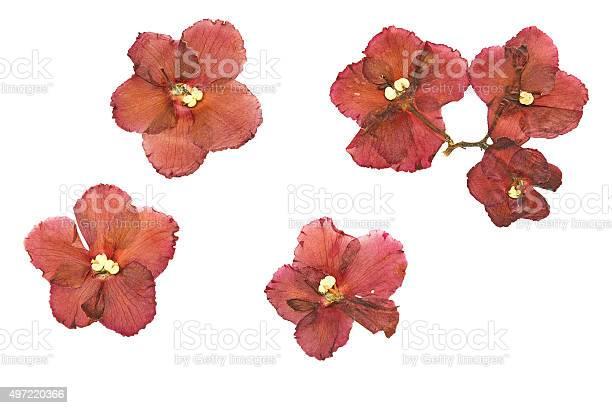 Pressed and dried flower saintpaulia isolated on white backgrou picture id497220366?b=1&k=6&m=497220366&s=612x612&h=kagcnm s6izmifcwumsza9f7l1hjglep3gjrvxiqeiu=