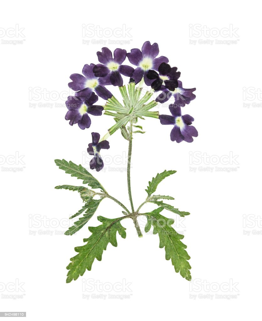Pressed And Dried Flower Verbena Isolated On White Stock Photo