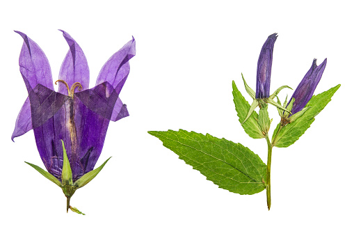 Pressed and dried flowers campanula. Isolated