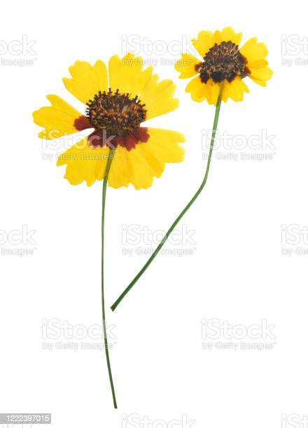 Photo of Pressed and dried flowers coreopsis. Isolated on white background. For use in scrapbooking, floristry or herbarium