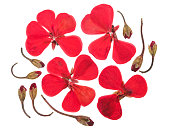 Pressed and dried flowers geranium (pelargonium), isolated on white background. For use in scrapbooking, floristry or herbarium.