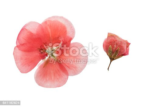 Pressed and dried pink delicate transparent flowers geranium (pelargonium). Isolated on white background. For use in scrapbooking, floristry (oshibana) or herbarium.
