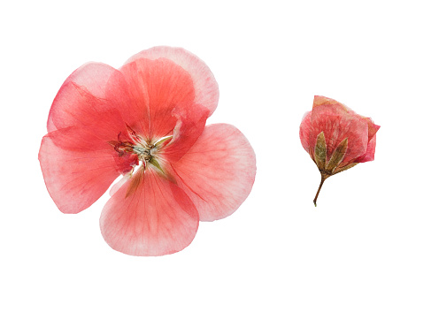 Pressed and dried  flowers geranium (pelargonium). Isolated