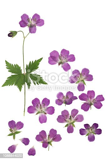 Pressed and dried flowers geranium pratense, isolated on white background. For use in scrapbooking, floristry or herbarium.