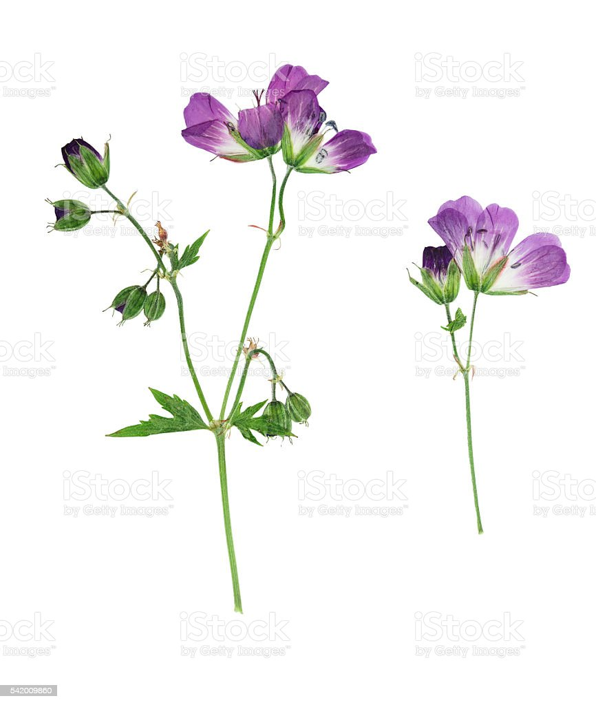 Pressed and dried flowers  Geranium pratense stock photo