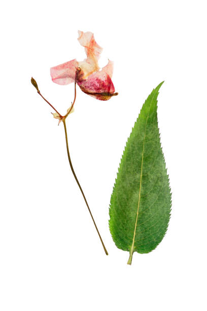Pressed and dried flowers impatiens glandulifera (Himalayan Balsam). Isolated on white stock photo