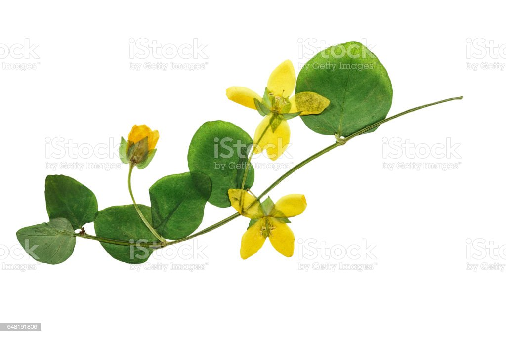 Pressed and dried flowers loosestrife with green leaves isolated on...