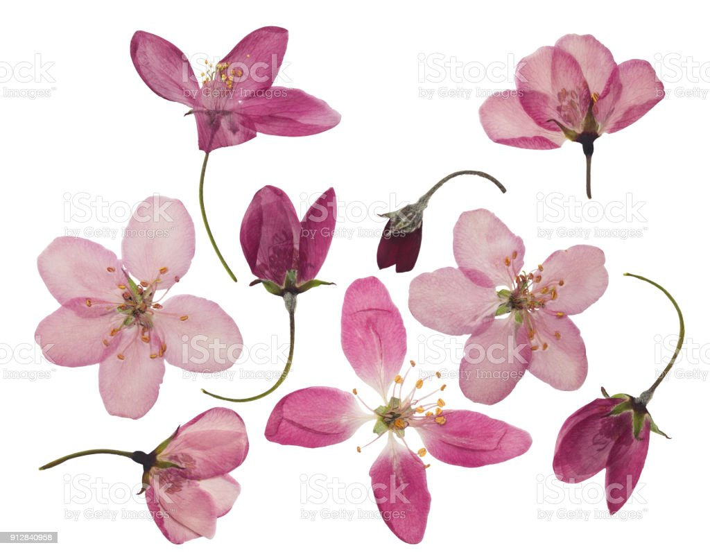 Pressed And Dried Flowers Of Apple Isolated On White Stock Photo