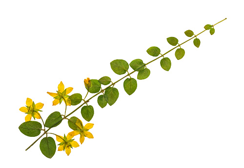 Pressed and dried flowers of loosestrife
