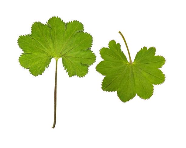 pressed and dried leaf alchemilla vulgaris. isolated - przywrotnik zdjęcia i obrazy z banku zdjęć