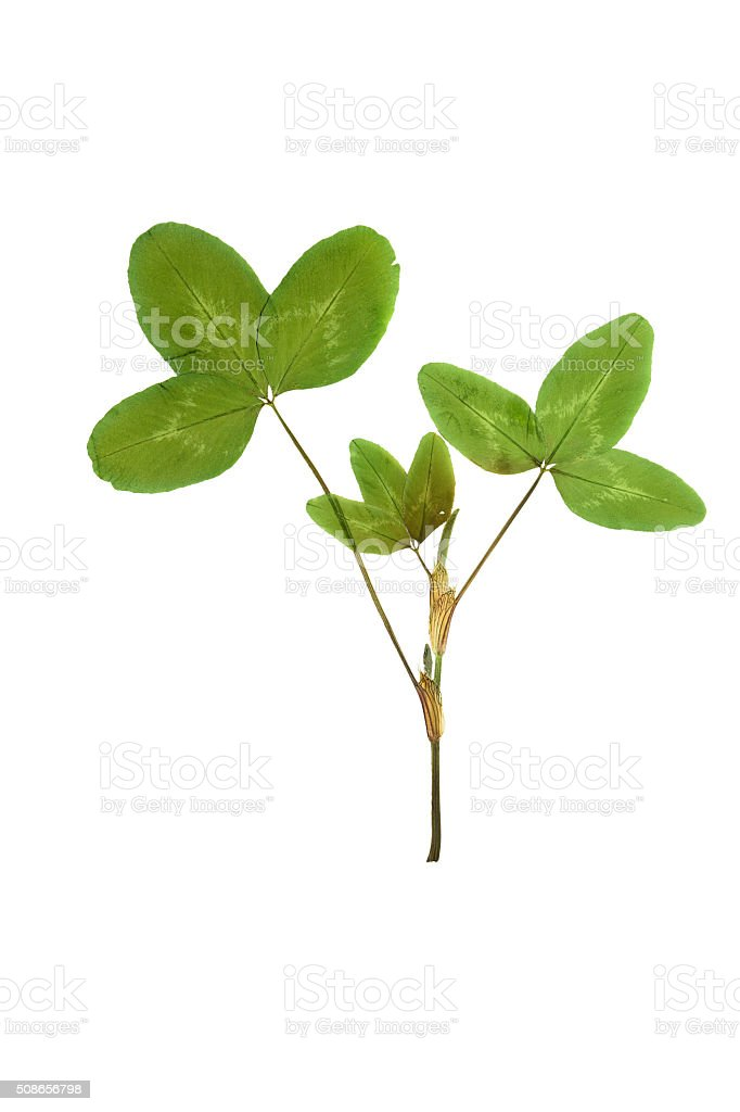 Pressed and dried leaf trifolium pretense or clover. stock photo