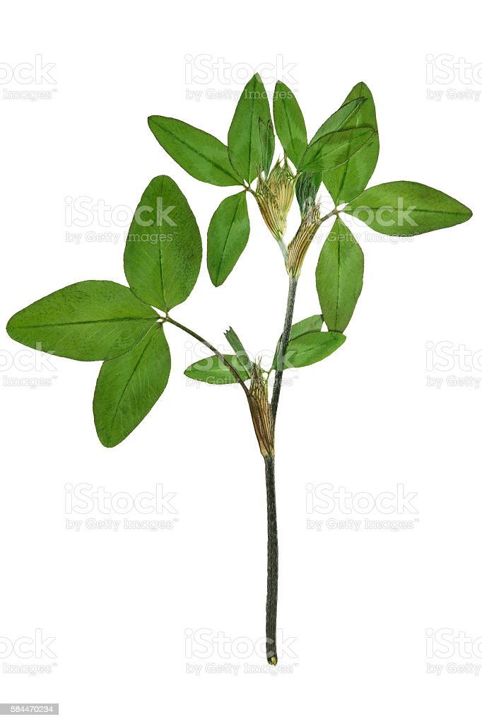 Pressed and dried leaves trifolium pratense stock photo