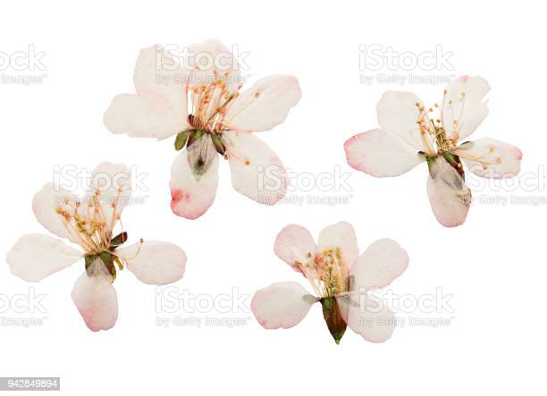 Pressed and dried lmond steppe flowers isolated on white picture id942849894?b=1&k=6&m=942849894&s=612x612&h=m4sufs2s7ek3su0b ptr72c6jlkqq9pxd ydk8tugga=