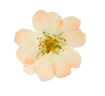 Pressed and dried pink flower wild rose. Isolated