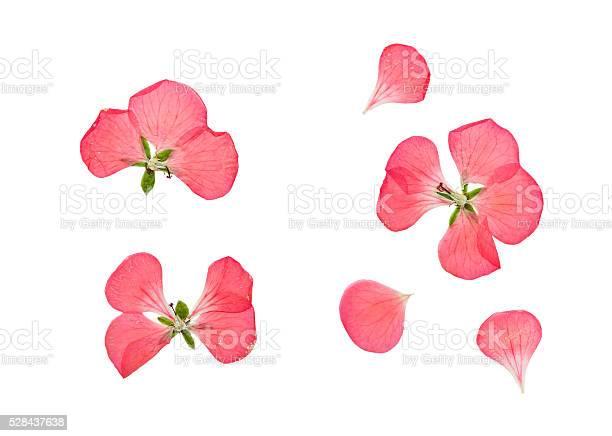 Pressed and dried pink flowers geranium pelargonium picture id528437638?b=1&k=6&m=528437638&s=612x612&h=6nalebuou ascjxsdmtic 2rprzgmyenwmcdzdq4cs4=