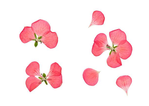 Pressed and dried pink flowers geranium pelargonium picture id528437638?b=1&k=6&m=528437638&s=612x612&w=0&h=bsken6jxyvvg02t0smtorr3agj7idrs eqxw9faa9hq=