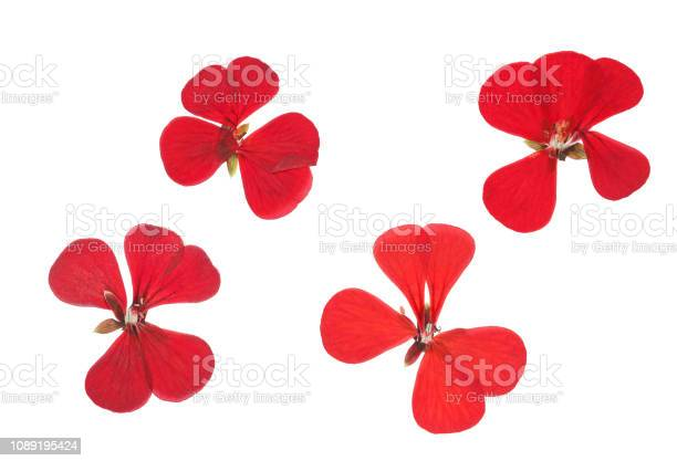 Pressed and dried red flowers geranium isolated on white picture id1089195424?b=1&k=6&m=1089195424&s=612x612&h=kgm4gdd6tp7oyb6j4  qg03xftzhi cu9tmgoncwcgg=