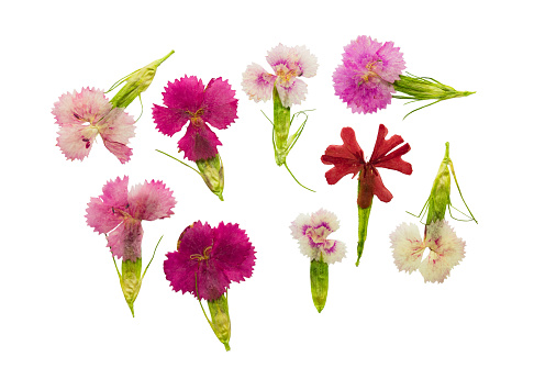 Pressed and dried set magenta flowers sweet-william (dianthus barbatus), isolated