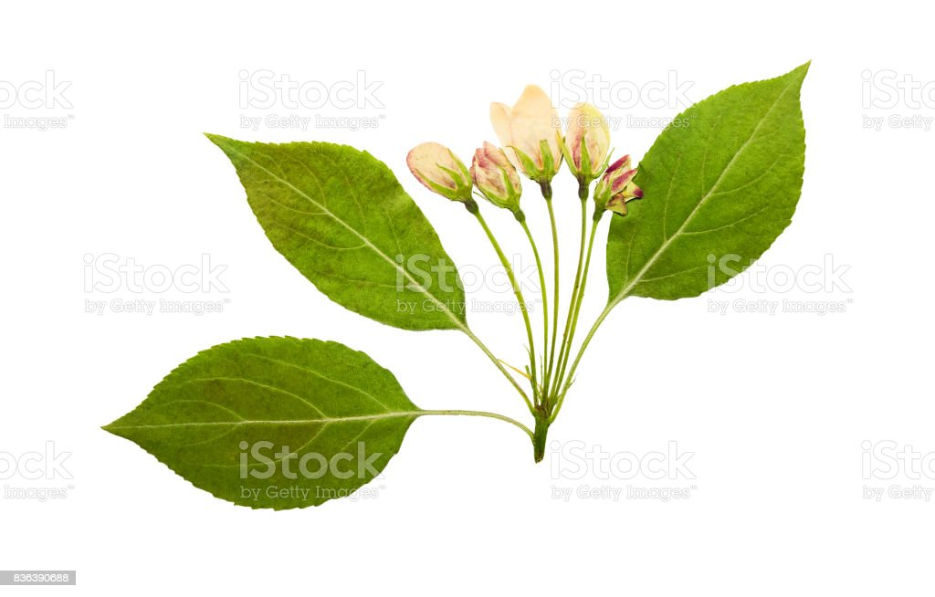 Pressed and dry pink bud flower of apple on racemes, isolated stock photo