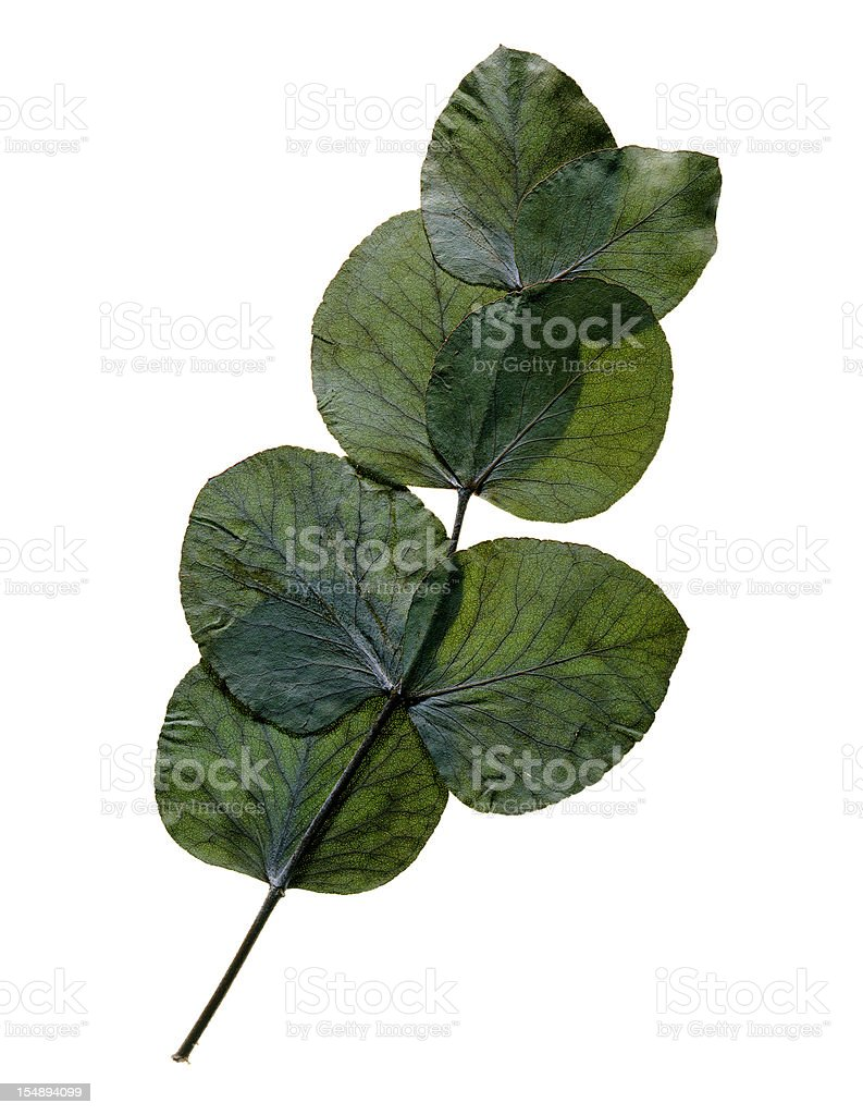 Pressed Eucalyptus Leaves Isolated On White stock photo