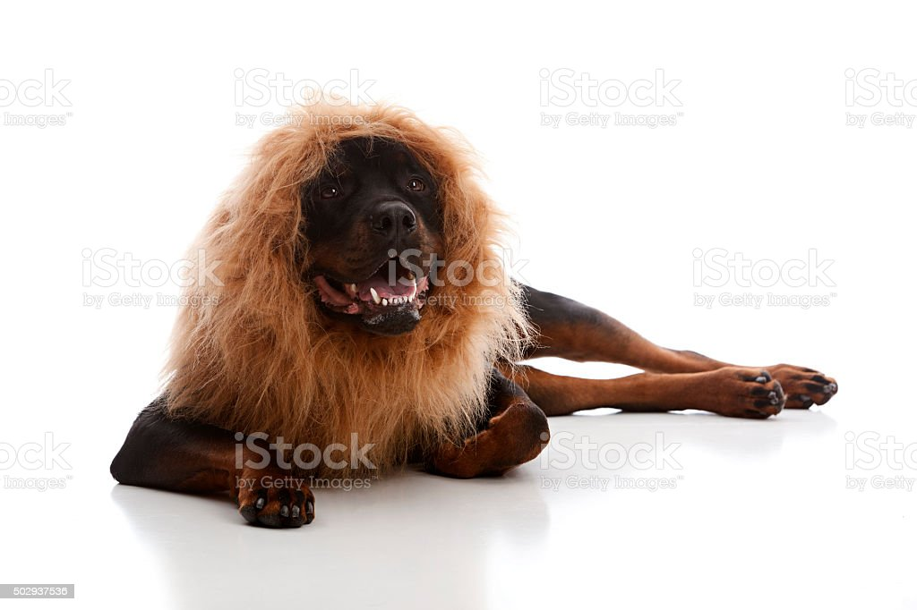Pretending to be a Lion stock photo