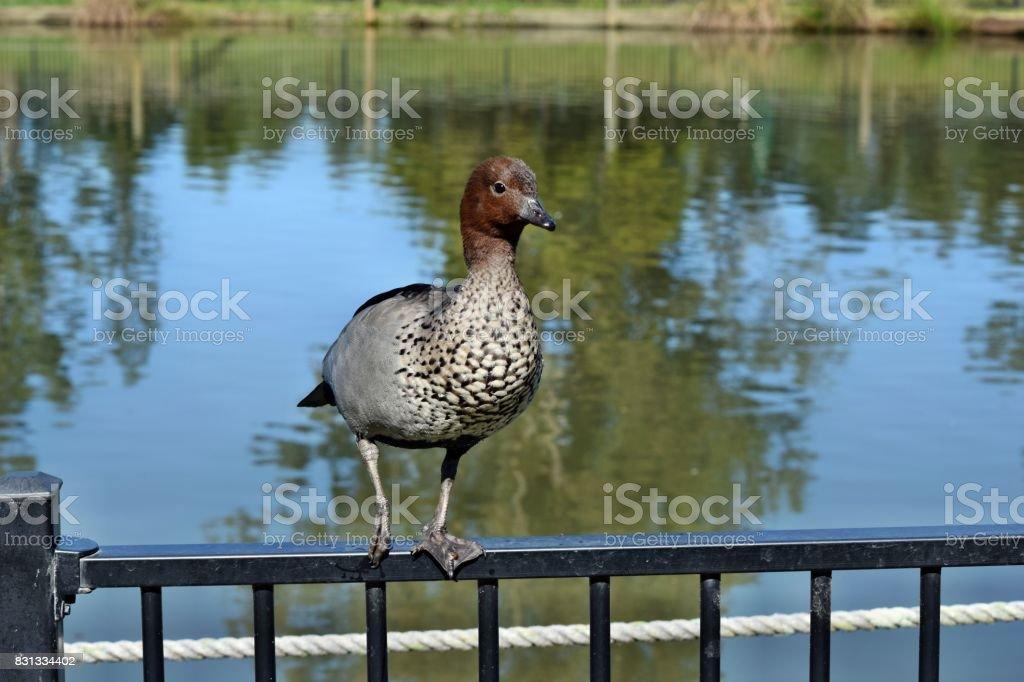 Pretty australian duck chenonetta jubata stock photo