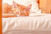 Pretty baby cat in sleeping time, red tabby female.