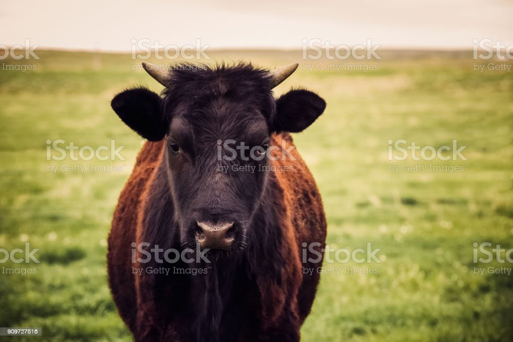 Pretty black and brown cow heifer with short horns close up and looking into camera stock photo