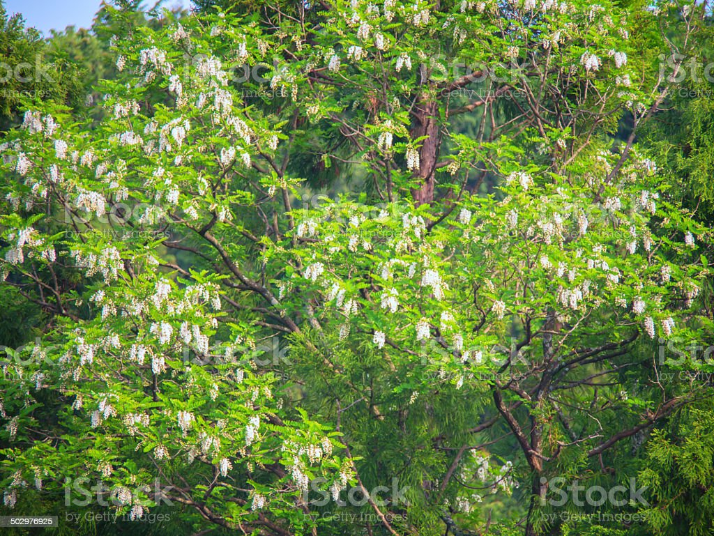 Pretty blossoms of a black locust, Robinia pseudoacacia, at summer stock photo