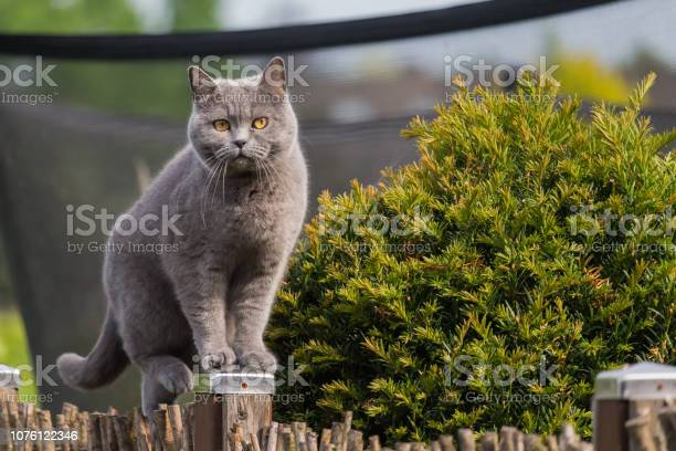 Pretty british shorthair cat standing on a post of the garden fence picture id1076122346?b=1&k=6&m=1076122346&s=612x612&h=h724pmqz69zbekf2h2kvq7vdmxsopahulxee8lh y8a=