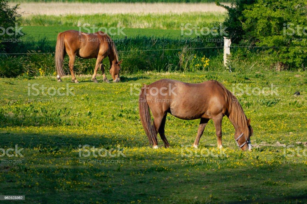 Lindos cavalos pastando no prado ao sol - Foto de stock de Agricultura royalty-free