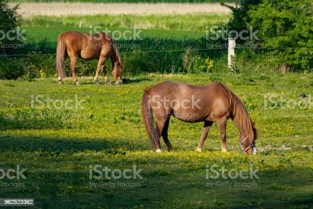 Foto de Lindos Cavalos Pastando No Prado Ao Sol e mais fotos de stock de Agricultura