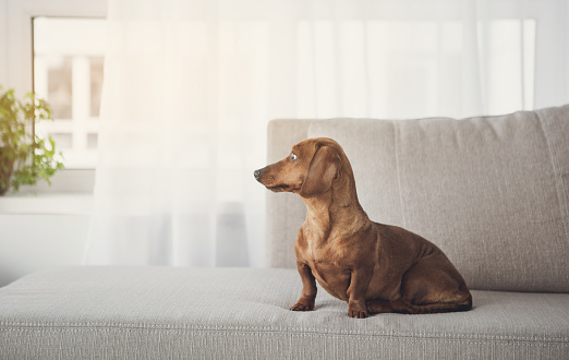 Pretty brown small dog on couch