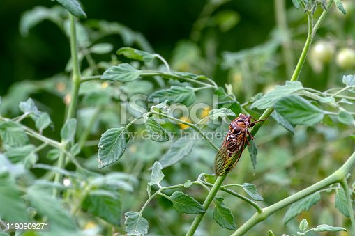 1054407300istockphoto A pretty Bush Cicada on a tomatom plant stem 1190909271