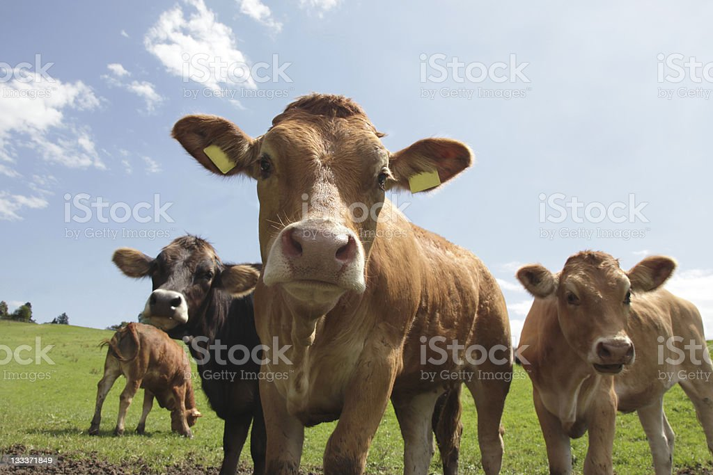 Pretty Calfs on Mountain pasture stock photo