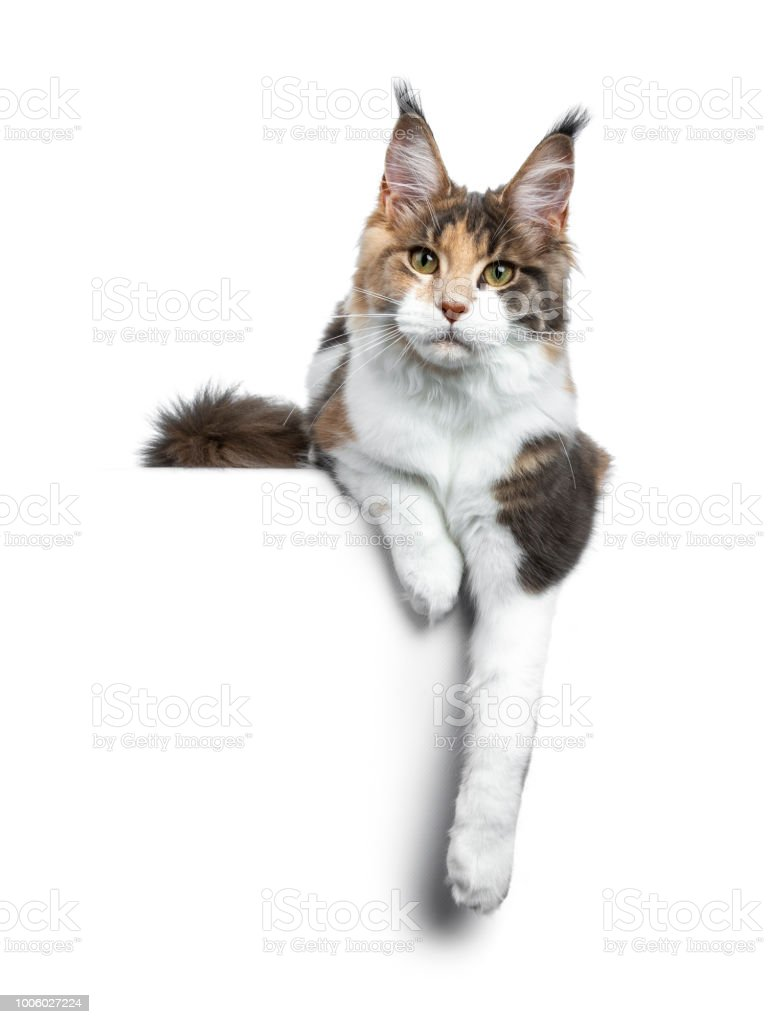 3f6e314038 Pretty calico Maine Coon girl laying down with paws hanging over edge and  looking straight at