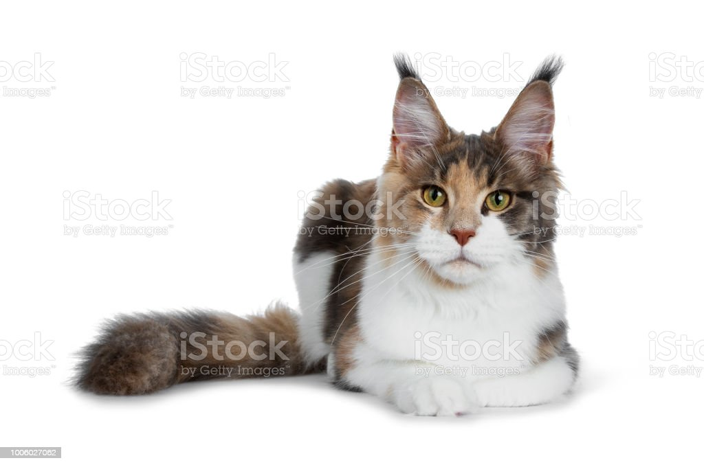 c702c2b0ad Pretty calico Maine Coon girl laying down with tail beside body and looking  straight at lens