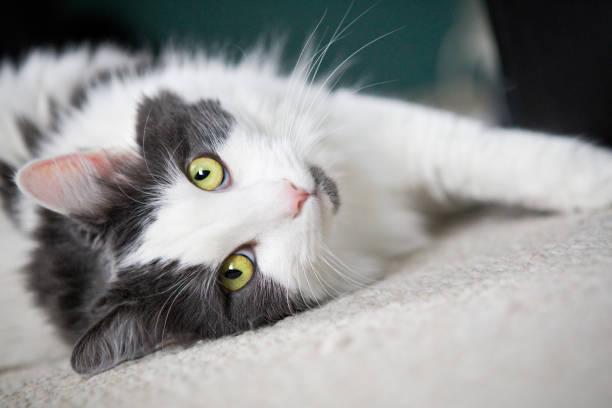 Pretty cat looking at camera picture id642603610?b=1&k=6&m=642603610&s=612x612&w=0&h= 9ole4zfboncenijcrgzqsdbl9v41fng5y1qcykpbus=