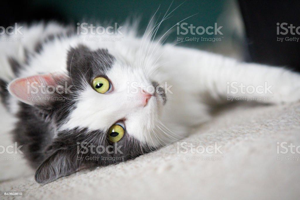 Hübsche Katze Blick in die Kamera – Foto