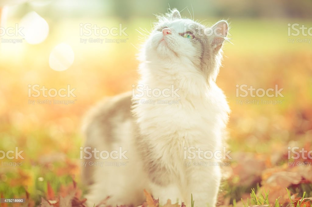 Pretty cat outdoors in sunshine looking up toward sky stock photo