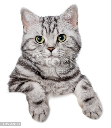 Pretty cat (british shorthair) behind a blank white banner, isolated on white. You can add extra white space with your message to the bottom.