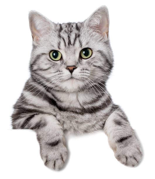Pretty cat (british shorthair) over a white banner stock photo