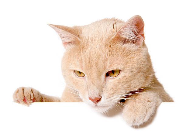 Pretty cat peeking behind a blank white banner picture id481110470?b=1&k=6&m=481110470&s=612x612&w=0&h=w9jcr5cevs8bpe bdcyuvjhsayga73r3sdlnm71kkbw=