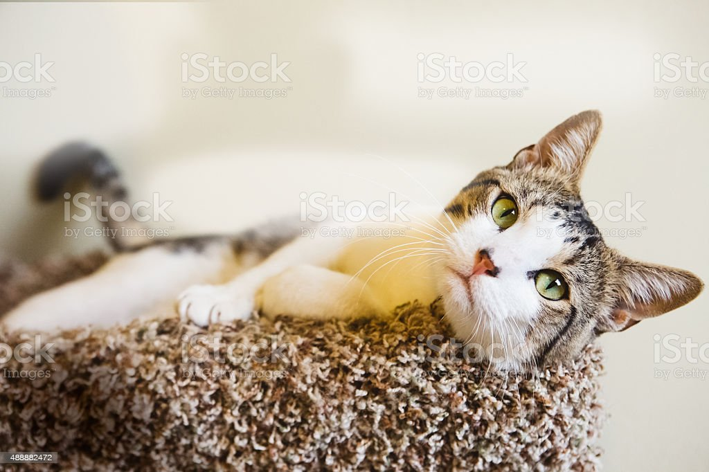 Pretty Cat - Tabby & White Looking at Camera stock photo