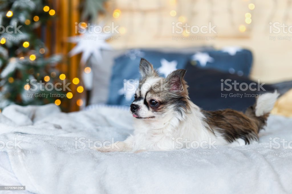 Pretty Chihuahua Puppy Dog In Scandinavian Style Bedroom With Christmas Tree Stars Lights Grey Plaid Blue Decorative Pillows Pets Friendly Hotel Or Home Room Animals Care Concept Stock Photo Download Image