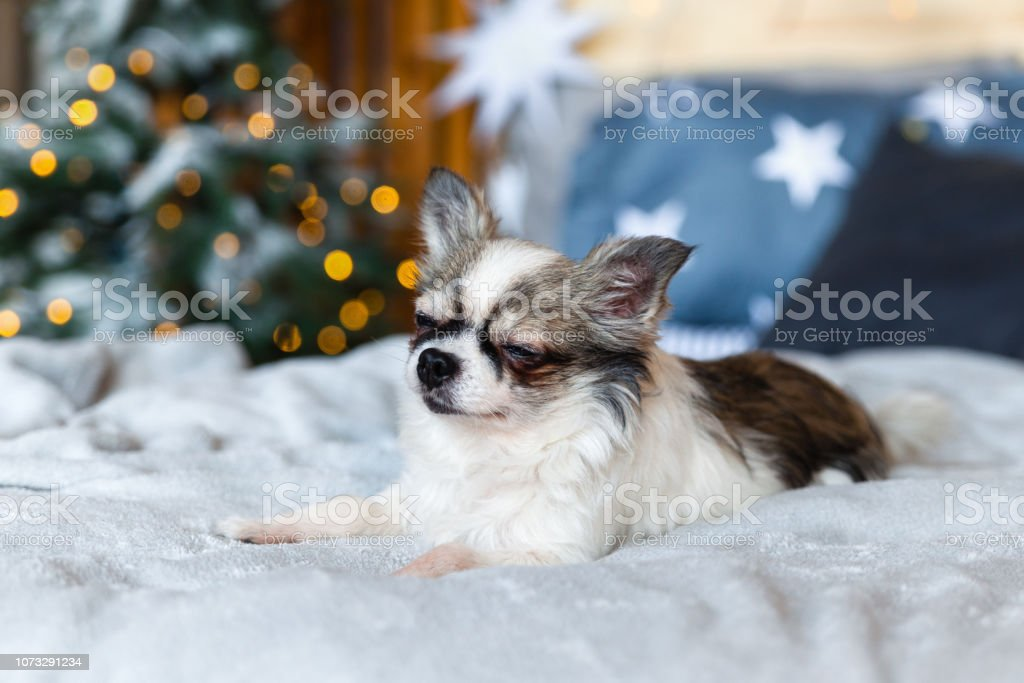 Pretty Chihuahua Puppy Dog Nap In Scandinavian Style Bedroom With Christmas Tree Stars Lights Grey Plaid Blue Decorative Pillows Pets Friendly Hotel Or Home Room Animals Care Concept Stock Photo Download
