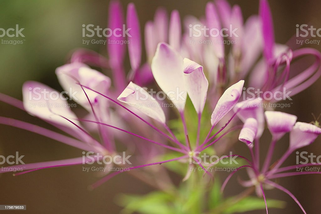 Pretty Cleome Flower royalty-free stock photo