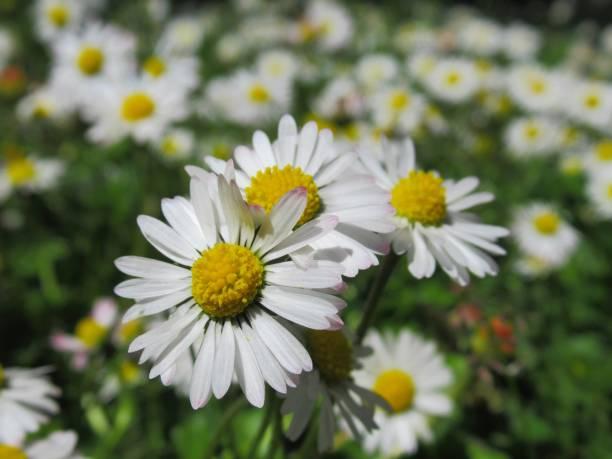 mooie close-up gemeenschappelijke daisy in het veld voorjaar 2019 - madeliefje stockfoto's en -beelden