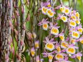 Pretty colorful Thai dendrobium orchids in full blossom with others emerging fresh from their stalks.